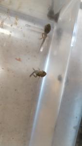 オタマジャクシからカエル